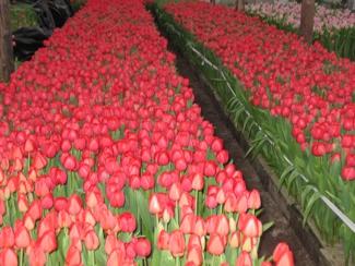 Фото тюльпанов перед срезкой 1