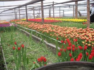 Фото тюльпаны перед срезкой 2
