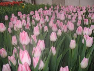 Фото тюльпаны перед срезкой 4