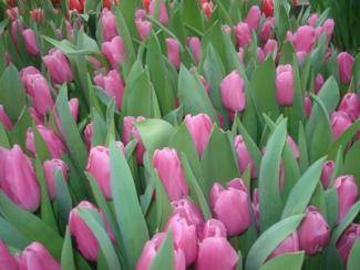 Фото Тюльпаны перед срезкой 7
