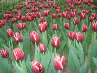 Фото Тюльпаны перед срезкой 9