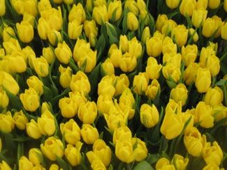 Фото тюльпаны перед срезкой 3