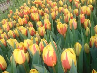 Фото Тюльпаны перед срезкой 5