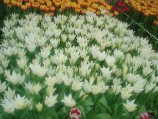 Фото Тюльпаны перед срезкой 6