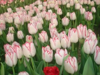Фото Тюльпаны перед срезкой 8