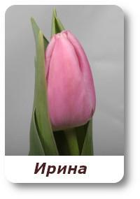 Irina tylpani