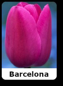 barselona-tulip