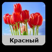 Tulip-krasni