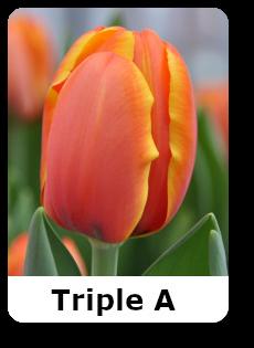 Трипл А