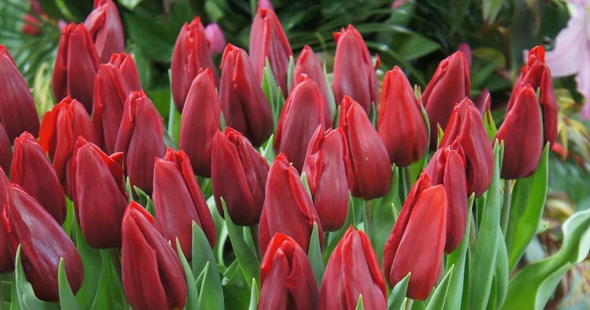 First star tulip