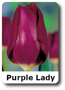 Purpl lady