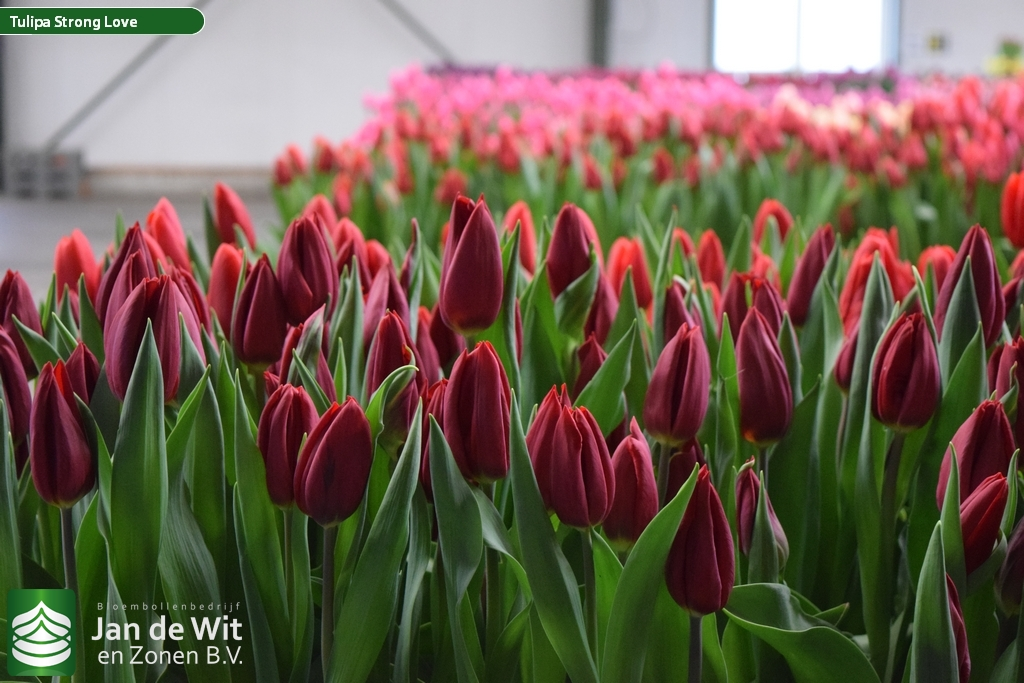 tulip-strong-love